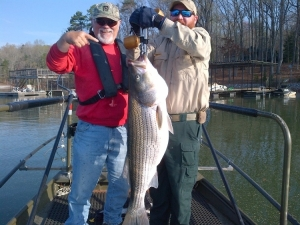 Retired fisheries biologist Reggie Weaver (L) and fisheries technician Chris Looney (R) with a 39-pound striped bass collected while sampling Lake Lanier.