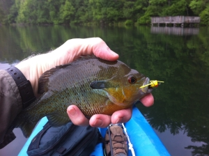 Redbreast caught at Unicoi Lake.