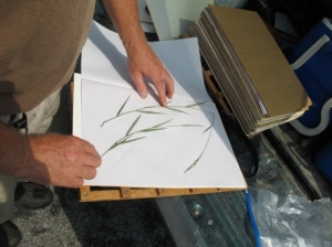 Delaware DNR botanist Bill McAvoy with a pressed specimen of Dichanthelium hirstii.