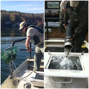 Fisheries staff stocked 24,000 11-inch brown trout into Lake Burton during the last two weeks of October. Over 5,000 brown trout were dispersed by boat.