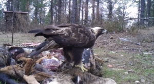 Researchers successfully caught this golden eagle using this bait pile. A transmitter was attached to the eagle as part of a project studying golden eagle migration and habitat routes in the eastern U.S.