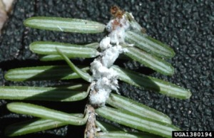 Hemlock wooly adelgid (photo by Chris Evans, University of Georgia)