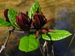 Native - Sweetshrub at the Alcovy River (by Alan Cressler)