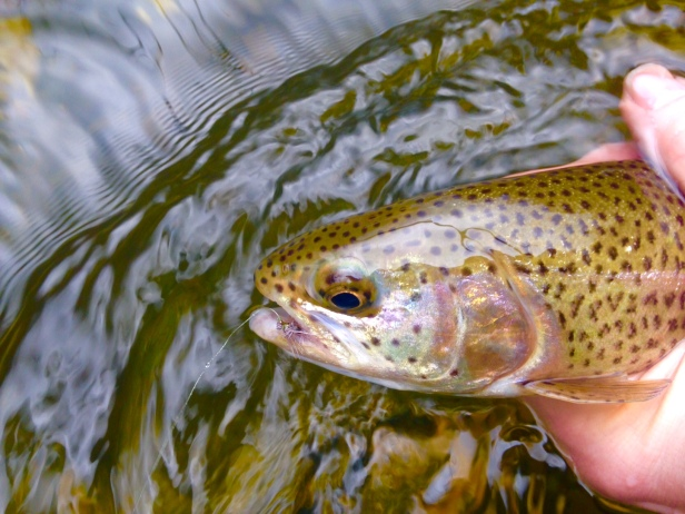 trout rbt on caddis dry chattooga dh 2-21-16