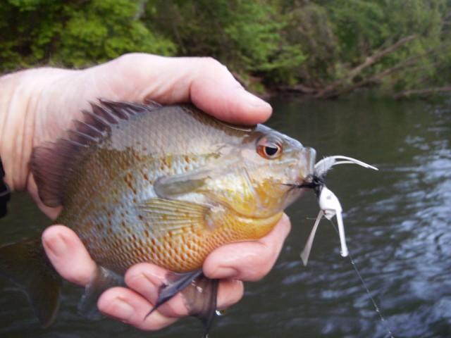 sunfish redbreast Hooch dark30 4-29-12 small