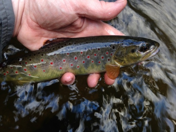 trout bnt tooga JD 5-21-16 small