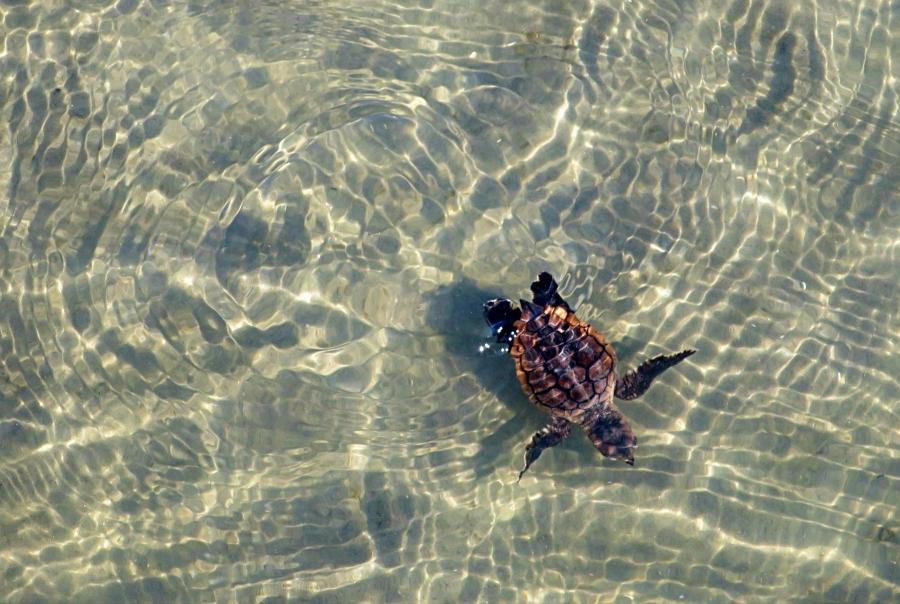 SeaTurtleHatchling_FirstSwim_SaraWeaver_DNR_2016.jpg