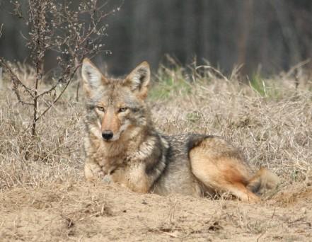 coyote-gadnr-wrd-stevekyles