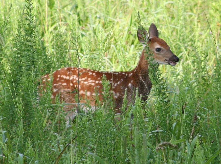 deer-fawn-img_1898