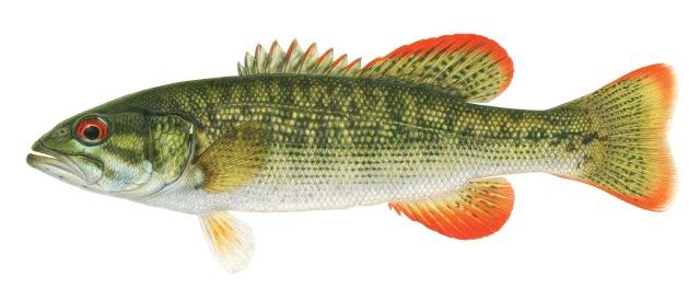 Chattahoochee bass.jpg
