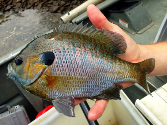 sunfish bluegill big Blue Ridge sample Damer May2107 small