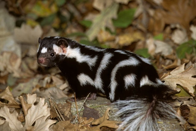 EasternSpotted Skunk_BobGress