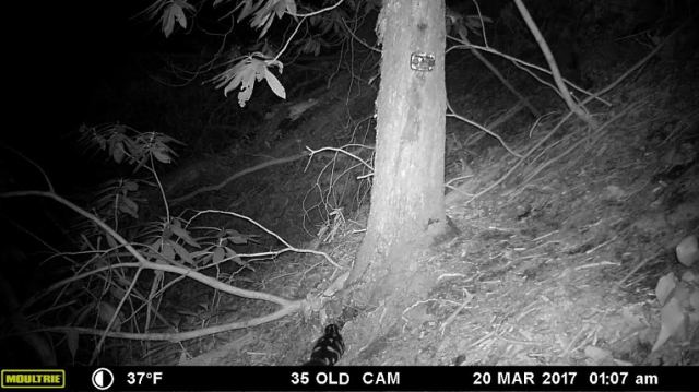 EasternSpotted Skunk_Rabun_2017