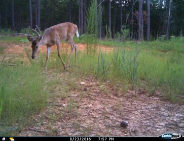 PauldingForestWMA TrailCamImage Aug2016