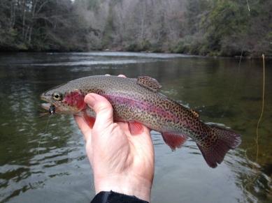 trout rbt redstripe Toccoa DH 12-17-17