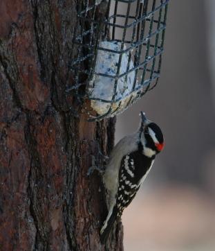 Male Downy Woodpecker (Photo Credit: Todd Schneider)
