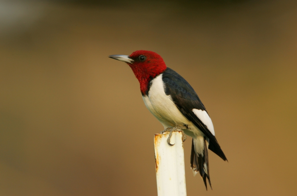 Red-headed Woodpecker.Phillip Jordan