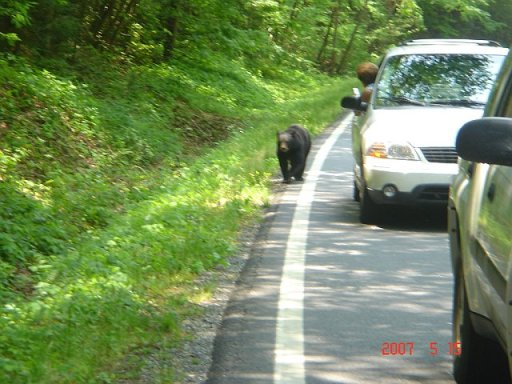 Andrews Cove bear on road 7 May 152007.jpg