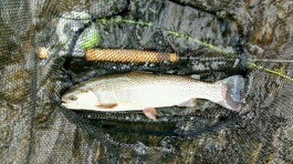 trout rbt 16.5in SmithDH BWeeks May 2018small