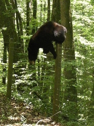 bear3 fence top Smithgall 6-13-10